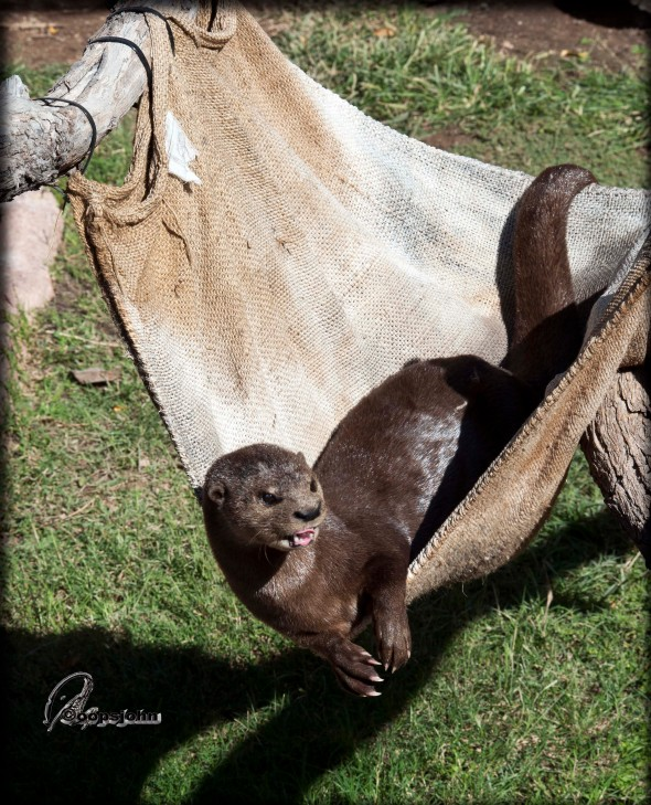 otter in a hammock