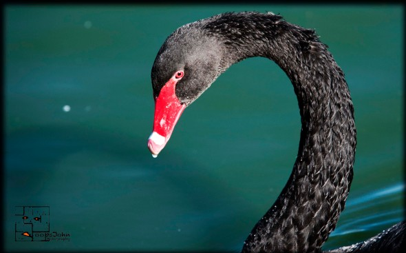 black swan with curved neck