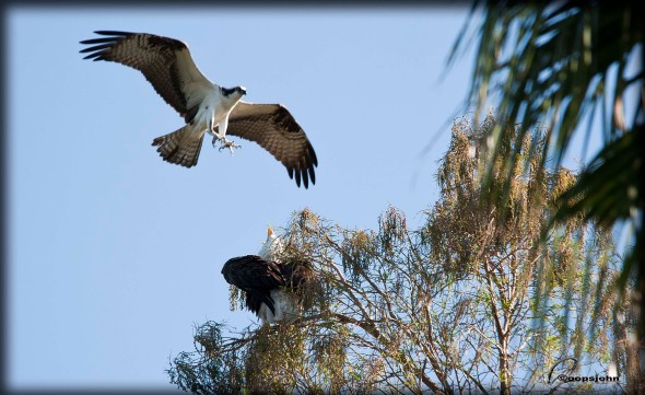 osprey attacking eagle