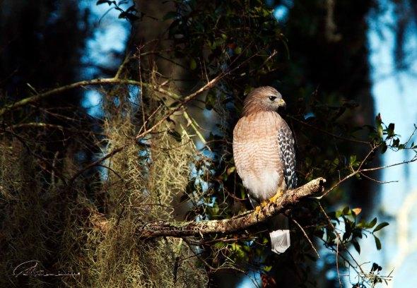 hawk sitting on branch