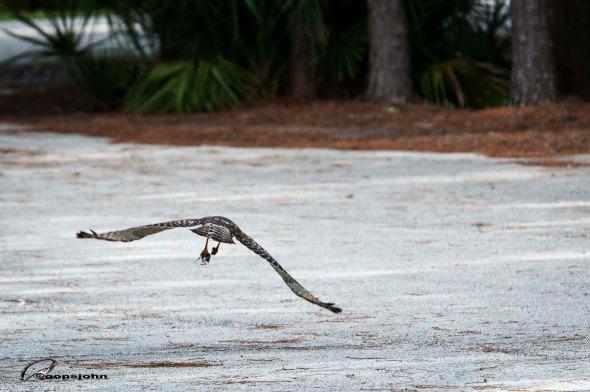 hawk snatching frog
