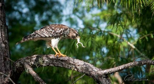 hawk eating frog