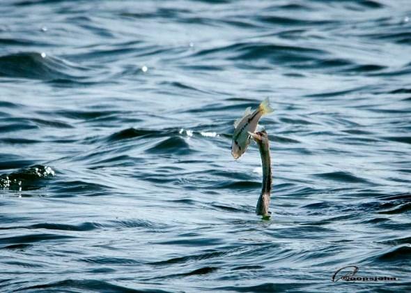 cormorant w. fish