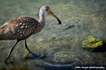 http://johnhayesphotography.files.wordpress.com/2013/02/limpkin_d3x2032-as-smart-object-1.jpg
